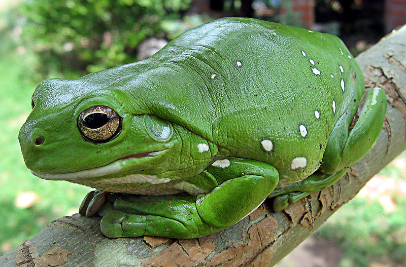 Do Goliath Frogs Live On Land Or In Water 117